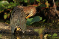 Young Green Heron Preening its Feathers Royalty Free Stock Images