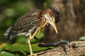 Young Green Heron Scratching its Head Stock Photos