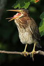 Young Green Heron Yawning Stock Image