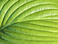 Young green leaf of hosta close up Royalty Free Stock Photo