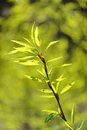 Young green leaves on branch with blurry green background Royalty Free Stock Photo
