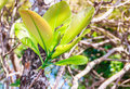 Young green leaves of great elephant apple tree, or Dillenia obo Royalty Free Stock Photo