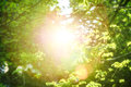 Young Green Leaves Sun Rays. S...