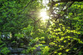 Young Green Leaves Sun Rays Sp...