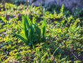 Young plants of tulip flowers growing in spring garden Royalty Free Stock Photo