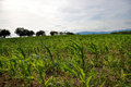 Young green maize field. Growing corn plant on sunny summer day in countryside. Slovakia Royalty Free Stock Photo