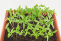 Young green seedlings of tomato Royalty Free Stock Photo