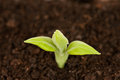 Young green sprout on a black organic soil close up Stock Image