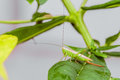 Young green tailed grasshopper in the wild Royalty Free Stock Photo