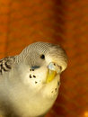 Young grey budgerigar a close up view of a coloured Stock Image