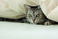 Young grey tabby cat hiding in quilt peeking out from underneath a on a bed Royalty Free Stock Photos