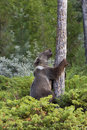 Young Grizzly Climbing a Tree Stock Photos