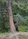 Young grizzly standing by tree Royalty Free Stock Photos