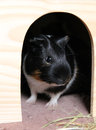 Young guinea pig in the shelter Royalty Free Stock Photo