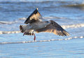 Young gull in flight over gentle ocean waves Royalty Free Stock Photo