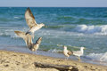 Young gulls lat. Larus argentatus on sandy coast Royalty Free Stock Photo