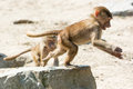 Young hamadryas baboons running and playing papio one of them jumping from a rock in Royalty Free Stock Photo
