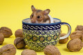 Young hamster in tee cup and walnuts portrait of popular pet approximation on yellow background Royalty Free Stock Images