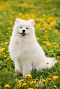 Young Happy Smiling White Samoyed Dog Or Bjelkier, Smiley, Sammy Royalty Free Stock Photo