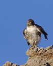Young hawk in death valley national park photo of a probably a red tailed taken california usa Stock Image