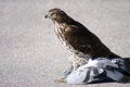 A Young Hawk with Prey Stock Images