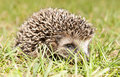 Young hedgehog Royalty Free Stock Photos