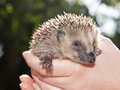 Young hedgehog Stock Photography