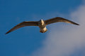 Young herring gull flying on the blue sky Royalty Free Stock Photo