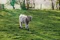 Di vitello