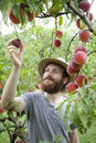 Young hipster bearded boy farmer who gathers peaches from the orchard Royalty Free Stock Photo