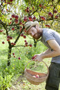Young hipster bearded boy farmer who gathers peaches from tree with straw basket hat and Stock Photo