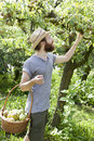 Young hipster bearded boy farmer who gathers pears from trees with straw hat and basket Royalty Free Stock Photo