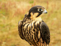 Young hobby falcon Stock Image