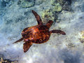 Young honu green turtle of sea swimming offshore near the kulakane in maui Royalty Free Stock Images