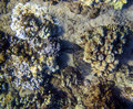 A young honu green turtle sleeping camouflaged hunkered down in coral hole Stock Photo