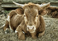 Young horned steer lying hay Royalty Free Stock Images