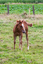 Young horse this mother with standing in pasture by curiosity alone the looking at me Royalty Free Stock Images