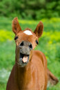 Young horse with open mouth it a very funny expression on his face Royalty Free Stock Photography