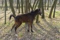 Young horse in spring forest doing pee pee Royalty Free Stock Photos