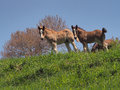 YOUNG HORSES ON MOUNTAIN Royalty Free Stock Photo
