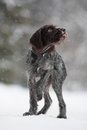 Young hunting dog walking in winter