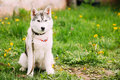 Young Husky Puppy Dog Sit In Green Grass In Summer Park Outdoor. Royalty Free Stock Photo