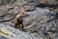 Young ibex in the mountains Royalty Free Stock Images
