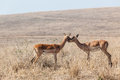 Young impala buck affections inter action animals on the dry wildlife landscape Stock Photography