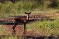 Young Impala Buck Alert  Royalty Free Stock Photos