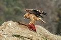 Joven águila