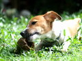 Young jack russel terrier months puppy white and brown playing on a green grass area Stock Photography
