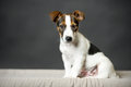 Young jack russell terrier with black background sitting in front of Royalty Free Stock Photos