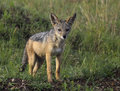 Young Jackal Pup Royalty Free Stock Photo