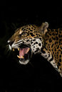 Young jaguar snarl with teeth closeup in jungle on black background high resolution Stock Photography